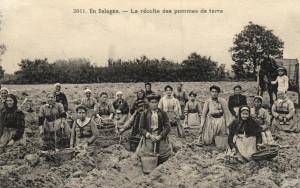 La Ferme - 8 La récolte des pommes de terre-1